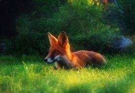 fox-1522156